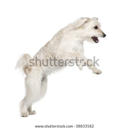 Pyrenean Shepherd, 2 years old, leaping in front of white background, studio shot - stock photo