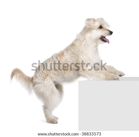 Pyrenean Shepherd, 2 years old, standing near pedestal in front of white background, studio shot - stock photo