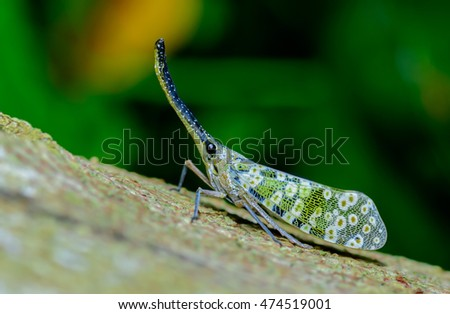 Pyrops candelaria, Green cicada on White background