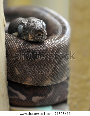 python, columbian red tail boa constrictor snake, honduras - stock photo