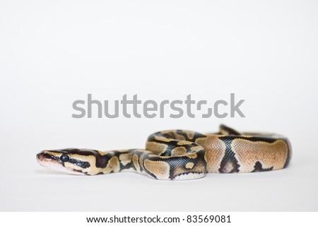 Python Hatchling - stock photo
