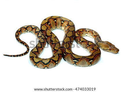 Python is wild snake isolated on white background.