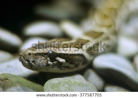 Python on the rocks, large reptiles, snakes, Bali Indonesia