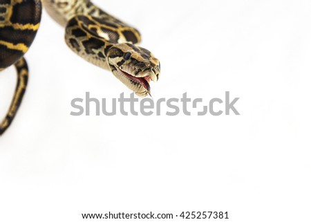 Python regius - A young pin striped ball python opening its mouth and sticking out it's tongue. - stock photo
