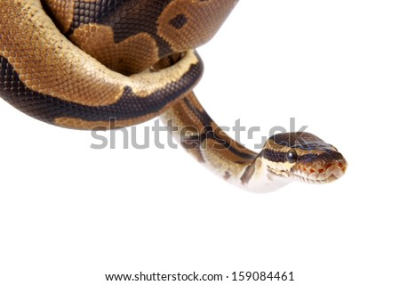 Python regius on white background, it is also known as royal python or ball python