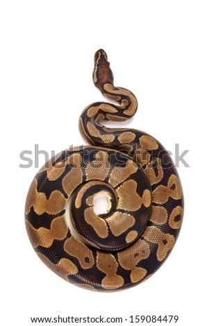 Python regius on white background, it is also known as royal python or ball python - stock photo