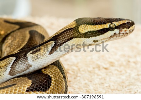Python Royal python - stock photo