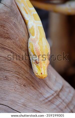 python snake - stock photo