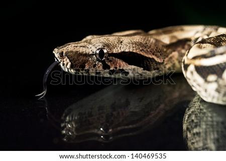 Python snake reptile close-up macro portrait on black bacground - stock photo