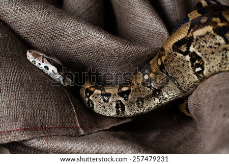 Python Snake. resting in sackcloth - stock photo