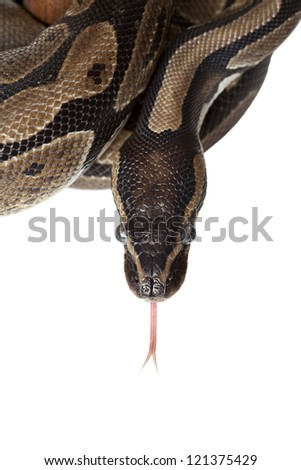 Python snake showing forked tongue on white background - stock photo