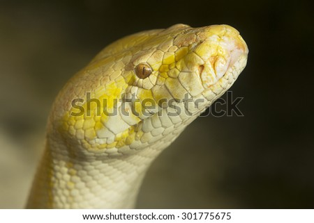 Python snake with head up and watching - stock photo
