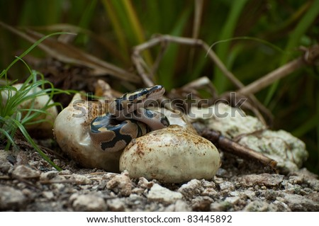 Pythons hatching in the Everglades
