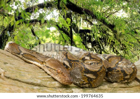Pythons lay curled up in a tree in the rainforest. - stock photo