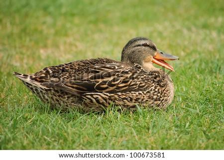 Quack - stock photo