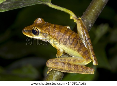 Quacking River Frog (Hypsiboas lanciformis) perching in the rainforest understory, Ecuador