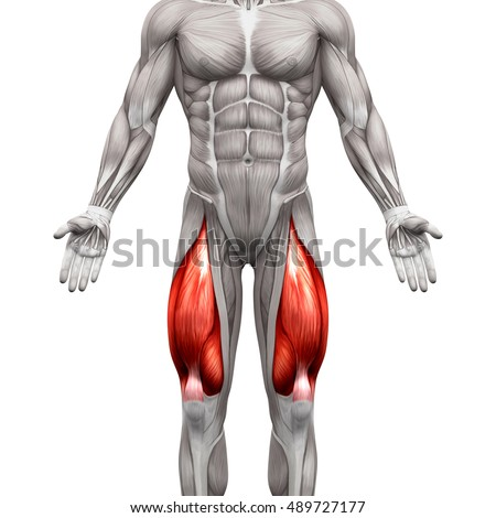 Quadriceps Male Muscles Anatomy Muscle Isolated Stock Illustration