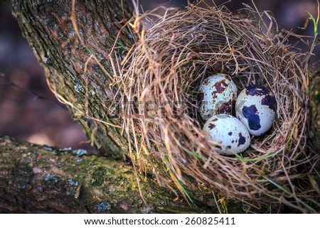 Quail eggs in nest on tree branch - stock photo
