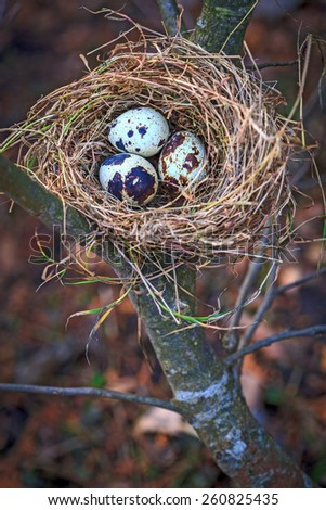 Quail eggs in nest on young tree branch - stock photo