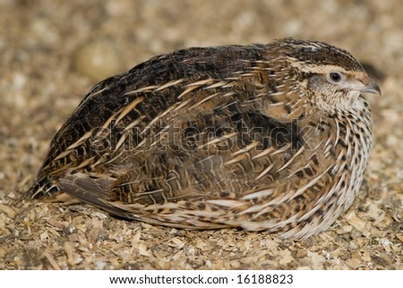 Quail sitting in sawdust, with even lighting. - stock photo