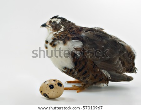 Quail with its egg - stock photo