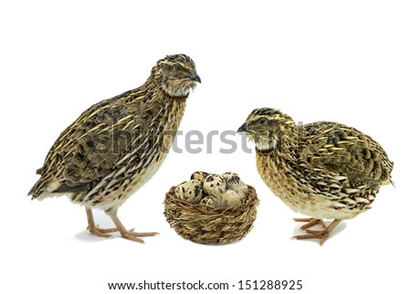 Quails and basket with eggs isolated on white background - stock photo