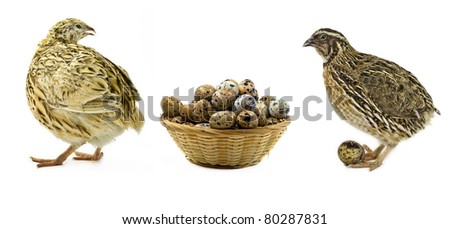 Quails and basket with eggs isolated on white background