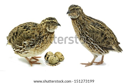 Quails with eggs isolated on white background - stock photo