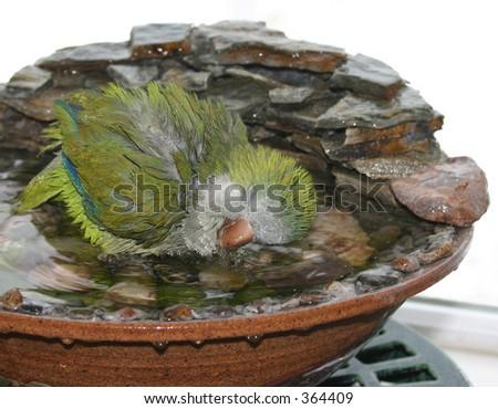Quaker (Monk) Parrot Enjoying a Bath - stock photo