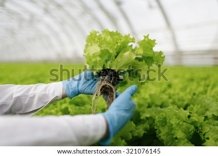 Quality control. Young female scientist stselects new breed of green salad optimized for consumption at greenhouse. Focus on the hand  - stock photo