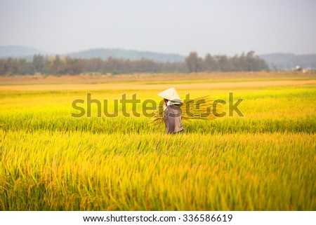 QUANG NGAI, VIETNAM. APRIL 19, 2014. A view of rice field in the morning.