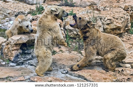 Quarrel bears.Aggression. Brown Syrian Bear - stock photo