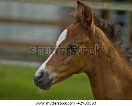 Quarter horse brown baby foal in profile - stock photo