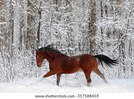 Quarter horse gelding running in sunlight in new fallen snow - stock photo