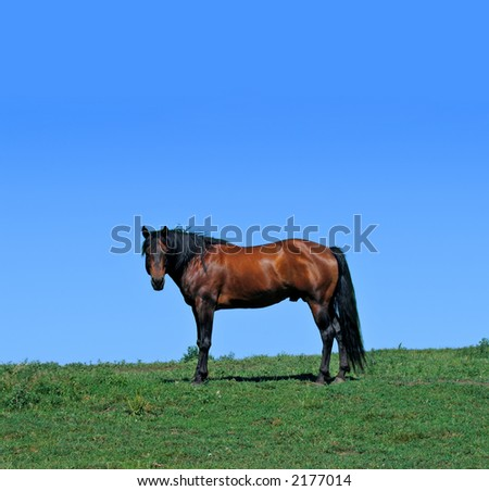 Quarter horse stallion standing in a pasture on a summer day - stock photo