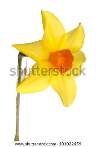 Quarter view of a single stem with an orange and yellow  flower of daffodil cultivar Starbrook isolated against a white background