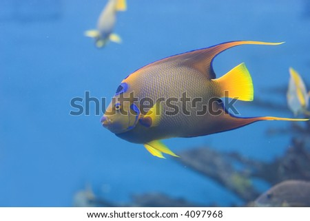 Queen Angelfish (Holacanthus ciliaris) - stock photo