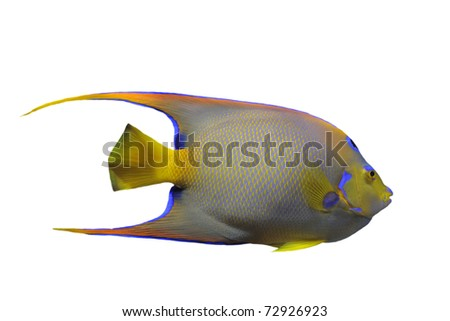 Queen Angelfish (Holacanthus ciliaris) in front of white background