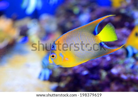 Queen angelfish (Holacanthus ciliaris) in Japan