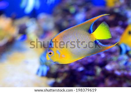 Queen angelfish (Holacanthus ciliaris) in Japan - stock photo