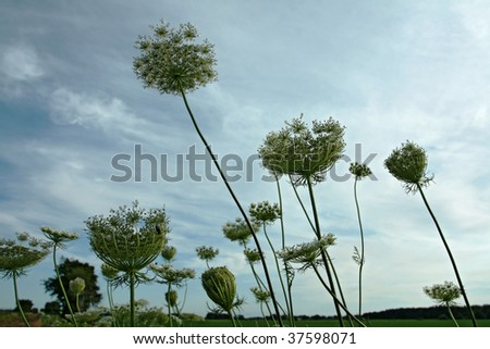 Queen Anne's lace against blue sky - stock photo