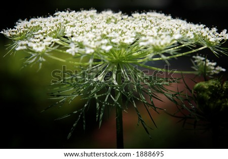 Queen Anne's lace against reddish brown and green background, backlit, bottom view. - stock photo