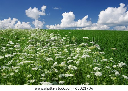 Queen Anne's Lace (Daucus carota), also known as wild carrot, bird's nest and bishop's lace - stock photo
