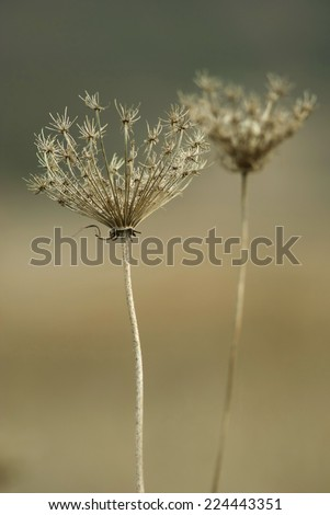 queen annes laces at autumn - stock photo