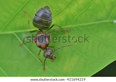 Queen Ant,  Winged Ant - stock photo