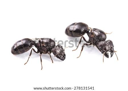 Queen ants - stock photo