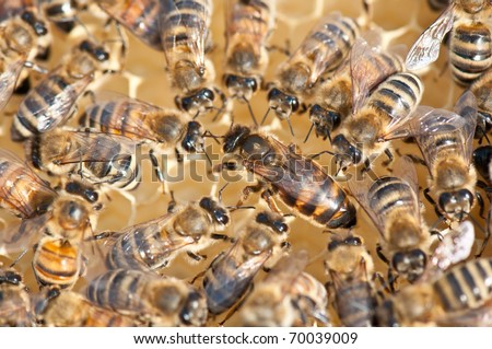 queen bee surrounded by her workers - stock photo