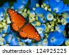 Queen butterfly (danaus gilippus) on blue hydrangea flowers - stock photo