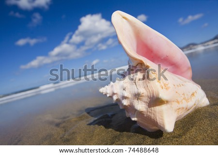 Queen conch shell on the beach at a jaunty angle. - stock photo