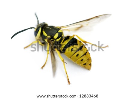 Queen Eastern Yellowjacket Wasp (Vespula maculifrons) - stock photo